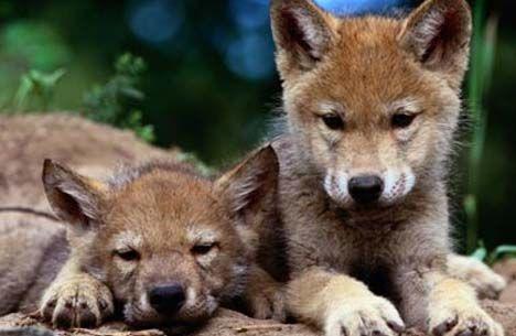 redwolfpups