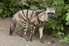 aardwolf.jpg