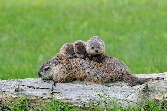 babygroundhogs
