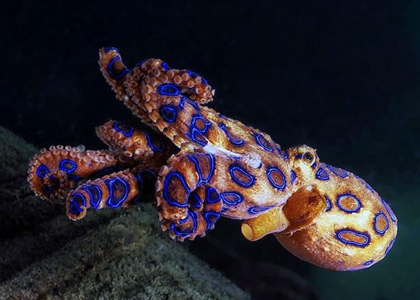 blueringedoctopus