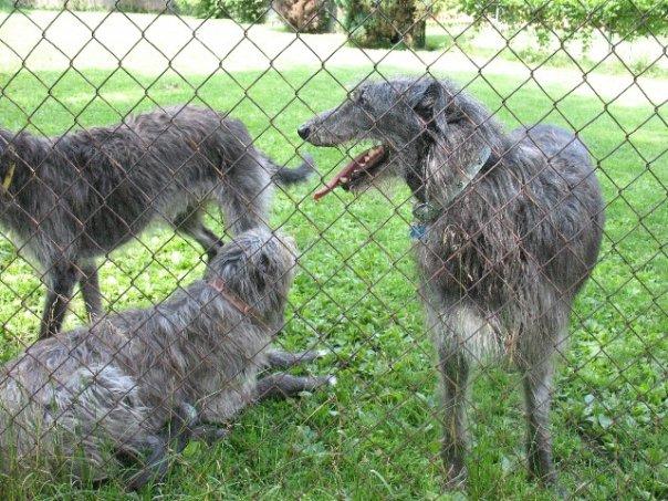 deerhounds.jpg