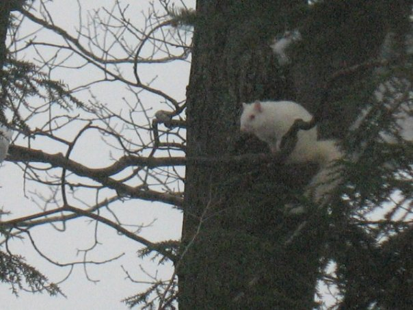 whiteysquirrel.jpg