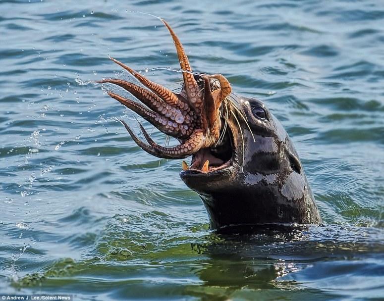 sealvs.octopus.jpg