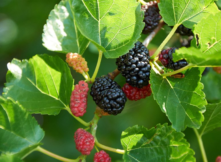 Fruit-red-mulberry.jpg