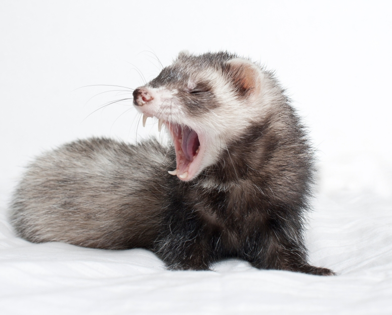 ferret-teet-and-dental-care-for-ferrets-thinkstock-177817907